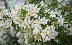 Choisya shrub with delicate small white flowers on green foliage background. Mexican Mock Orange evergreen shrub.