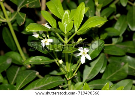 Choisya Ternata Mexican Orange Mock Orange Aromatic Evergreen