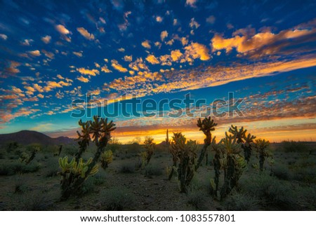 Cholla at Sunrise - The beauty of a desert sunrise featuring a magnificent cloudscape, blue skies and a foreground of cholla cactus.  Scottsdale, Arizona.