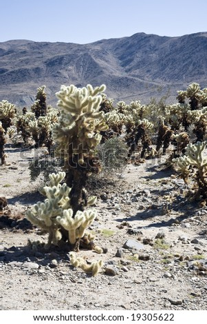 Cholla cactus garden Joshua Tree NP USA - stock photo