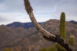 Cholla cactus skeleton bones desert Sonoran dead plant close up macro background chollo dead dying