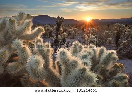 Chollas Cactus Sunrise Joshua Tree National Park, California