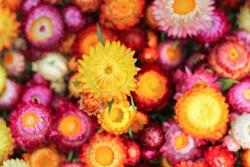 Choose soft focus, beautiful Helichrysum bracteatum, Prunus cerasoidesEverlasting Straw flower in Thailand . The beautiful scenery of the Everlasting Straw flower blossoms