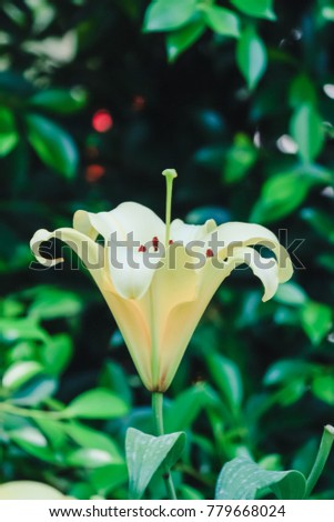Choose soft focus,White lilies are planted to decorate and decorate in a colorful flower garden on a blurred background of nature in the morning of winter in Thailand. #779668024