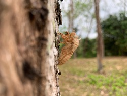 Choose the focal point of the cicada on the tree. Cicada stains, beautiful natural scenes, moult cicada insects in nature, the concept of cicada grows into an adult insect.
