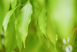 Choose the focus point on the leaf,The leaves are fresh green with copy space.Mango leaves, light green.Long leaf