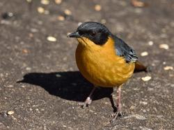 Chorister Robin-Chat, Cossypha dichroa, bird