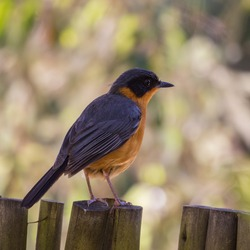 Chorister Robin-chat on the garden fence, Natures Valley, South Africa