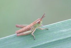 Chorthippus parallelus, known as the meadow grasshopper, a nymph posing