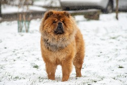Chow chow, Chinese breed, violet tongue. Winter, snow.