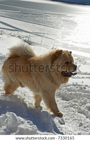 Chow-chow dog near by winter lake