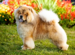 chow chow dog on the background of a blooming garden