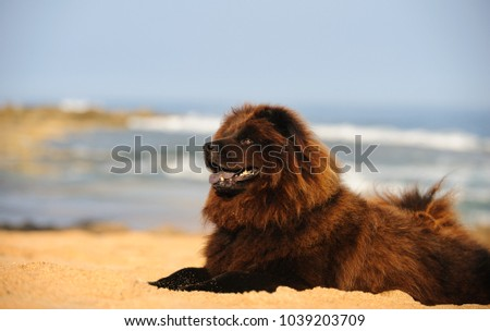 Chow Chow dog outdoor portrait lying down on sand beach #1039203709