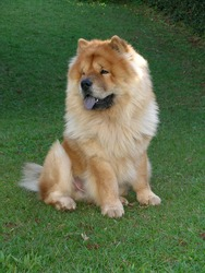 Chow Chow Dog Sitting