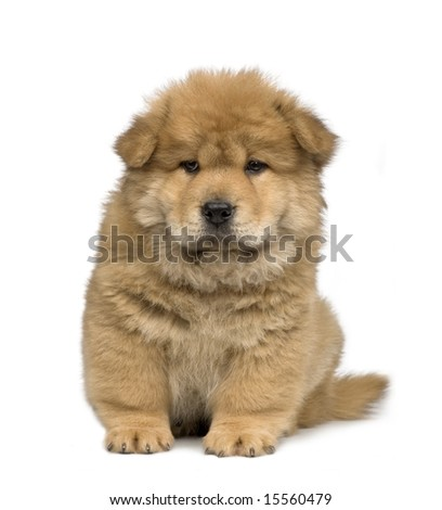 Chow chow (2 months) in front of a  white background