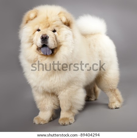Chow chow (5 months) in front ofa grey background #89404294