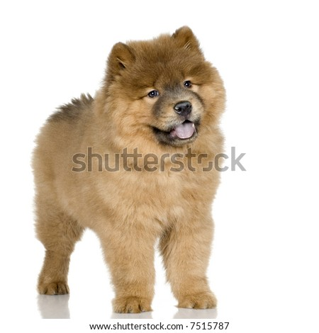 Chow chow (3 months) in front ofa white background