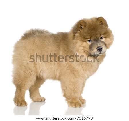 Chow chow (3 months) in front ofa white background #7515793