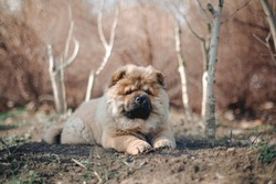 Chow chow puppy dog laying in the park with trees behind him.