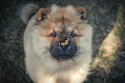 Chow chow puppy dog with a butterfly on his nose.