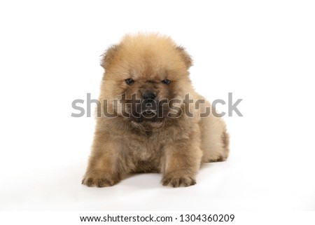 chow-chow puppy isolated over white background #1304360209