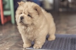Chow Chow puppy look bored in raining day