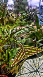 Christia Obcordata is known for its triangular shaped foliage with green and burgundy stripes similar to the veins of a bird, like the tail of a Swallow. Also known as the