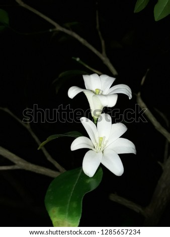 Jasmine (small white flower) Images and Stock Photos - Page