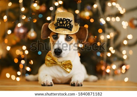 Christmas background with jack russell dog in party hat. New Year concept.