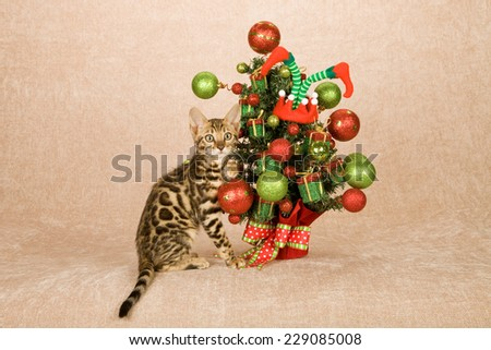 Christmas Bengal cat kitten with colourful decorated Christmas tree on beige background