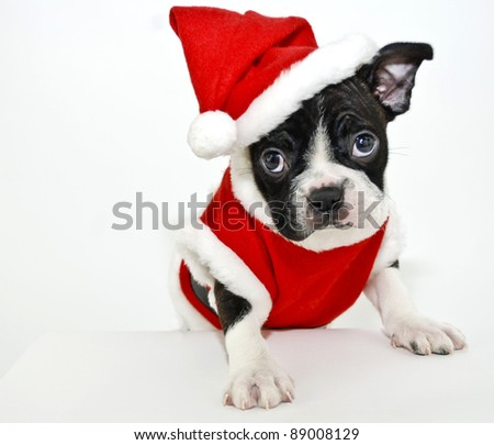 Christmas Boston Terrier on a white background.