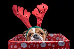 Christmas box with English bulldog pup,selective focus