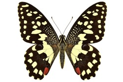 Christmas butterfly or African Citrus swallowtail (Papilio demodocus) isolated on white background