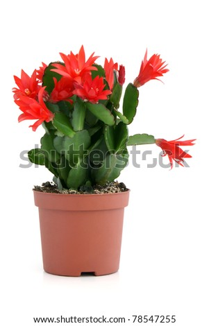 Christmas cactus on a white background. Schlumbergera.