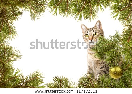 Christmas card, domestic cat and frame from fir branches