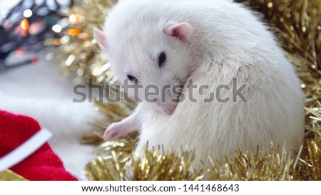 Christmas card with white rat. New year white rat. New Year and Christmas 2020. Happy New Year greetings from the rat