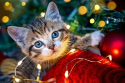 Christmas cat. Portrait striped kitten playing with Christmas lights garland on festive red background. Kitty looking at camera.