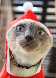 Christmas celebration, siamese cat with red-hood show funny exciting face, so cute and adorable pet