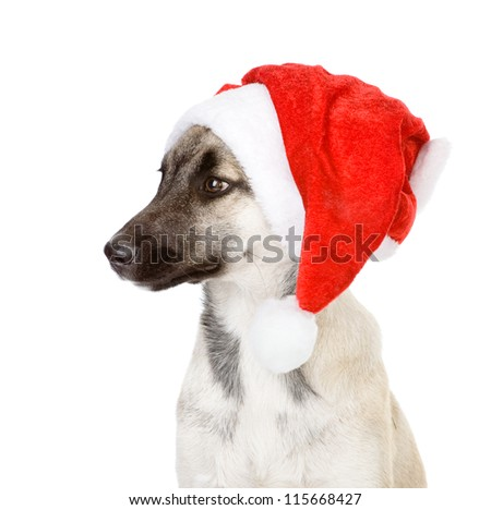 christmas dog as santa. isolated on white background
