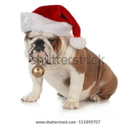 christmas dog - english bulldog wearing santa hat holding christmas bell on white background