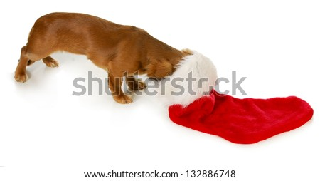 christmas dog - miniature dachshund with head inside stocking isolated on white background