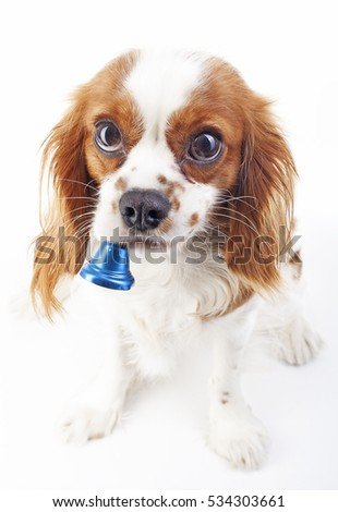 Christmas dog with bell. Dog in studio. Cavalier king charles spaniel in studio and blue christmas bell. Winter holiday season illustration. #534303661