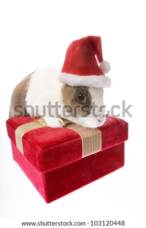 Christmas Dutch bunny rabbit wearing Santa hat on gift box isolated on white background