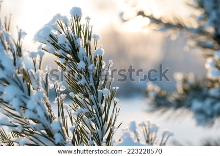 Christmas evergreen spruce tree with fresh natural snow over winter sunset background
