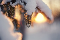 Christmas evergreen spruce tree with fresh snow