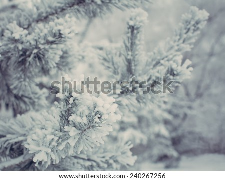 Christmas evergreen spruce tree with fresh snow #240267256