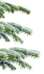 Christmas evergreen spruce tree with frost on white, holiday background