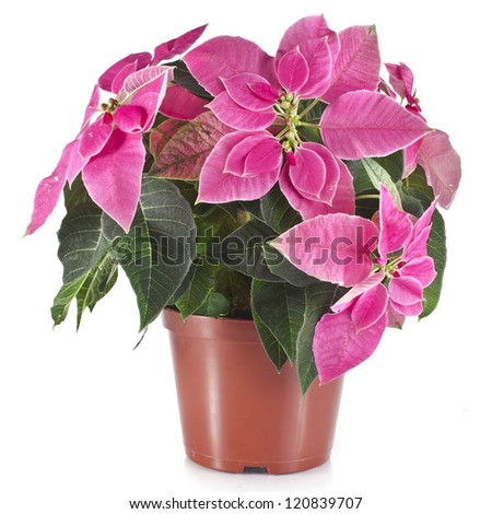 christmas flower poinsettia in flowerpot isolated on white  background