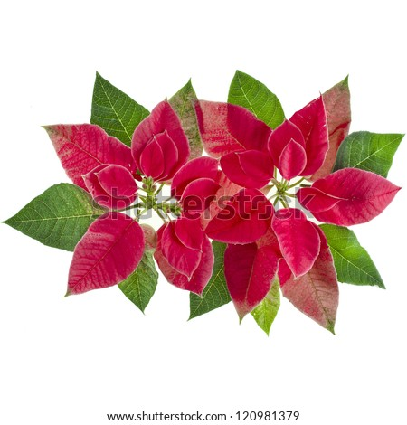 christmas flower poinsettia isolated on a white background