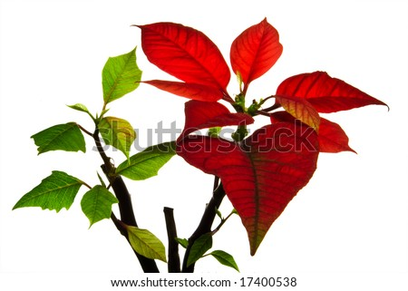 Christmas flower - poinsettia isolated on white background